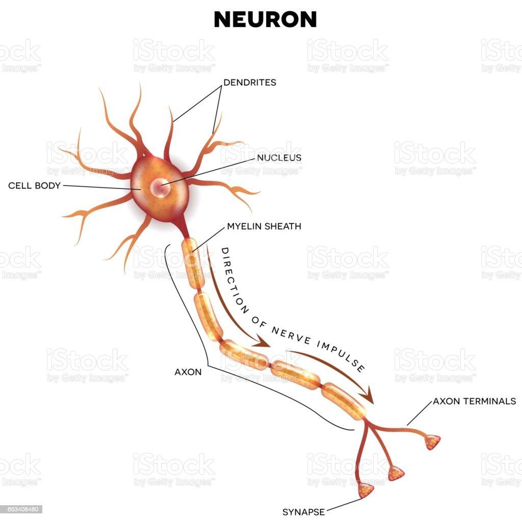 Simple Brain Diagram Neurons - Electrical Wiring Diagram House •