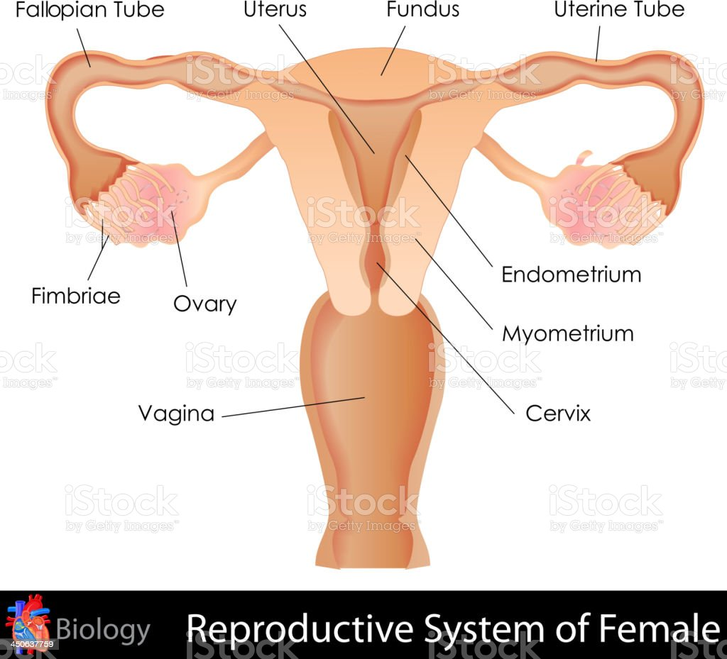 Labeled Illustration Of The Female Reproductive System Stock Vector