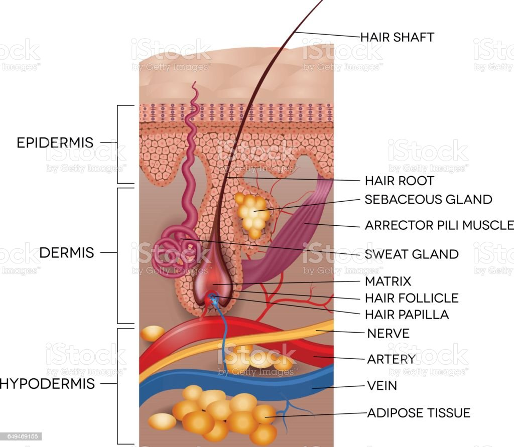 Labeled Skin And Hair Anatomy Stock Vector Art More Images Of