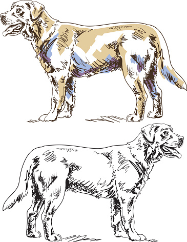 Labrador Retriever Pen And Ink Drawing