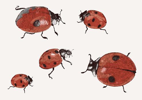 Ladybirds. Lady Bugs, Beetles