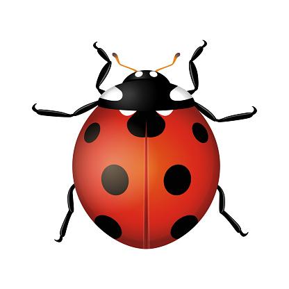 Ladybug beetle isolated on white background