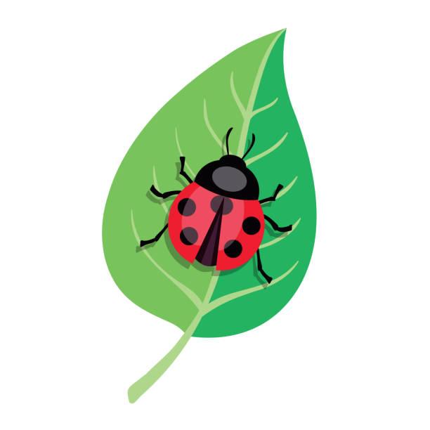 Ladybug crawling on a green leaf. Color vector illustration – artystyczna grafika wektorowa