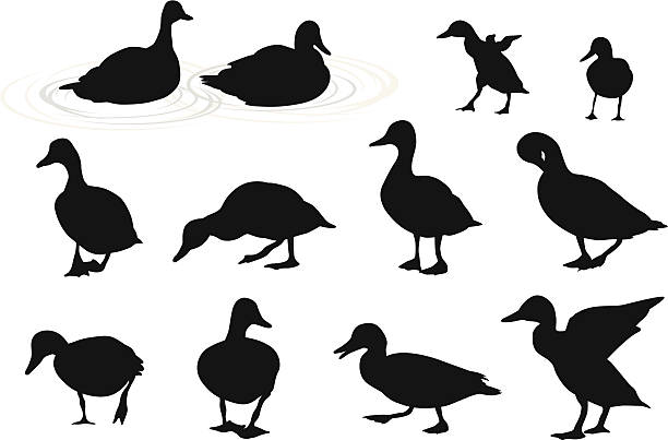 Lake Ducks Vector Silhouette A-Digit duckling stock illustrations
