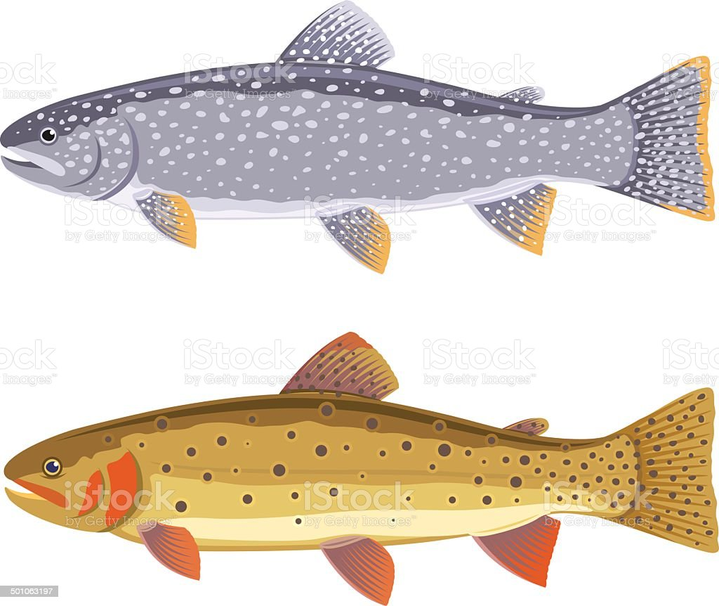 Lake trout and cutthroat trout vector art illustration