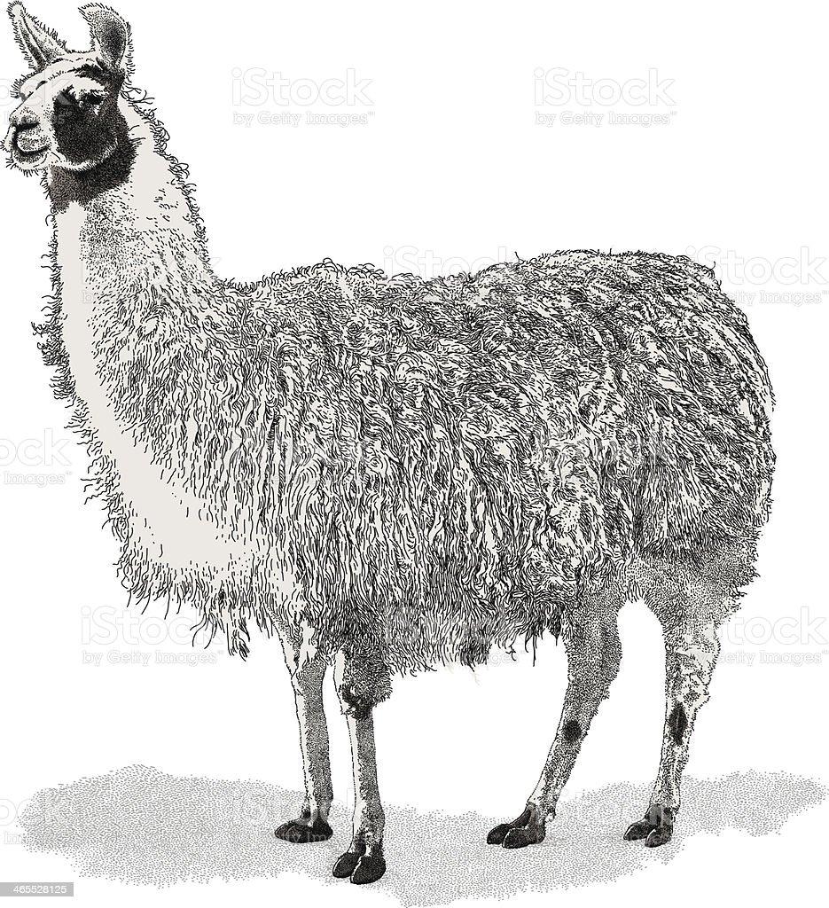 Lama - ilustración de arte vectorial