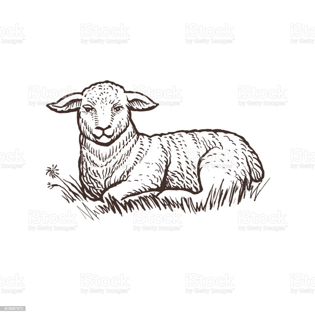Lamb farm animal sketch, isolated lamb mammal on the white background. Vintage style royalty-free lamb farm animal sketch isolated lamb mammal on the white background vintage style stock illustration - download image now