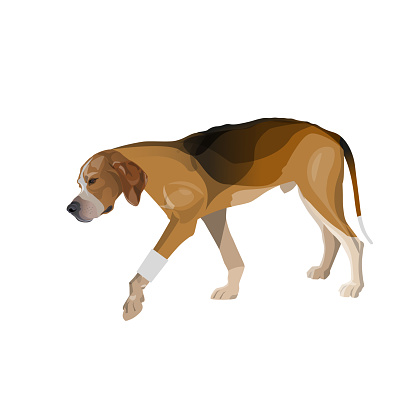 Lame dog walks with a bandaged paw