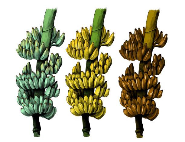 large bunch of bananas on a thick branch – artystyczna grafika wektorowa