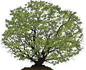 Detailed vector illustration of a large green leafy tree.