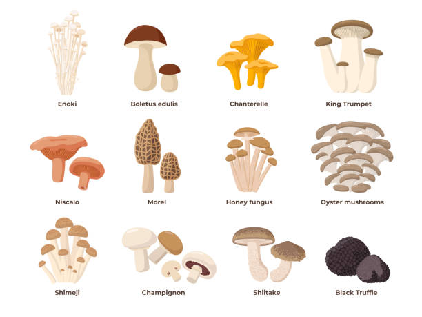 ilustrações de stock, clip art, desenhos animados e ícones de large mushroom set of vector illustrations in flat design isolated on white. cep, chanterelle, honey agaric, enoki, morel, oyster mushrooms, king oyster, shimeji, champignon, shiitake, black truffle - cogumelos