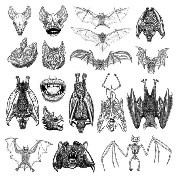 Large set of bats and vampires. Human lips with fangs, skeleton, bat skull and aggressive face or head. Open wings flying gothic monsters. Ink line engraving sketch in black. Vector. Large set of bats and vampires. Human lips with fangs, skeleton, bat skull and aggressive face or head. Open wings flying gothic monsters. Ink line engraving sketch in black. Vector. bat stock illustrations