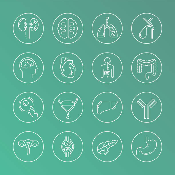 Large set of linear vector icons of human organs Large set of linear vector icons of human internal organs in circles. Suitable for print, web, and presentations. antibody stock illustrations