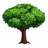 A old tree with a big crown. Thick foliage. Detailed vector illustration isolated on white background.