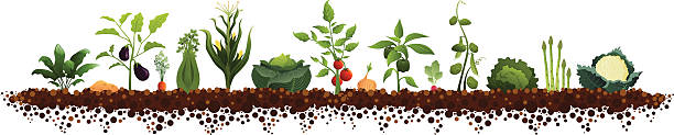 large vegetable garden - lettuce stock illustrations