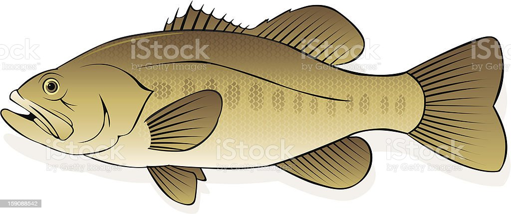 largemouth bass fish royalty-free stock vector art