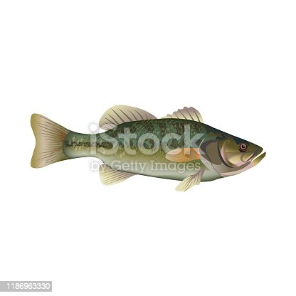 istock Largemouth bass. Vector illustration 1186963330