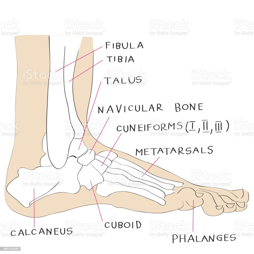 lateral color view of foot bones vector art illustration