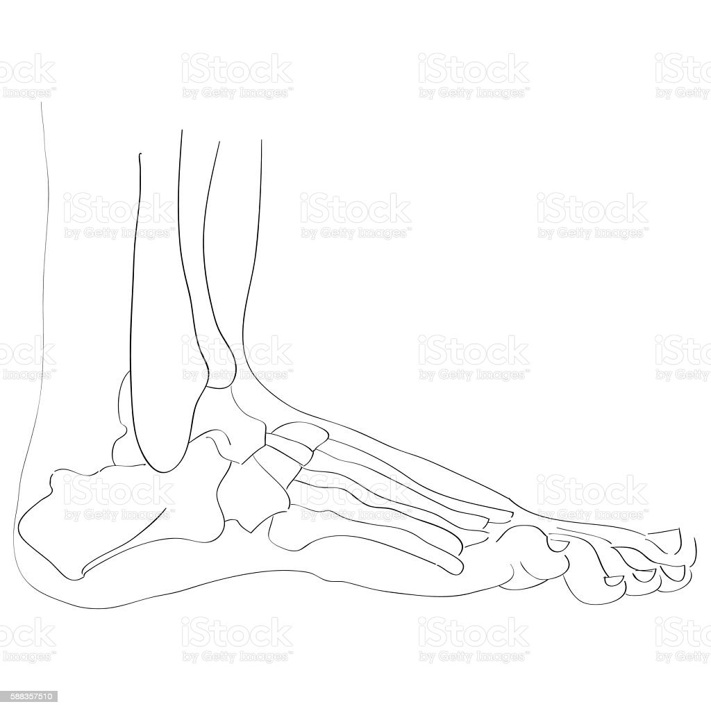 Lateral View Of The Foot Bones Stock Illustration Download Image Now Istock