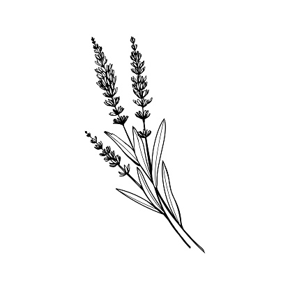 Lavender black ink hand drawn sketch
