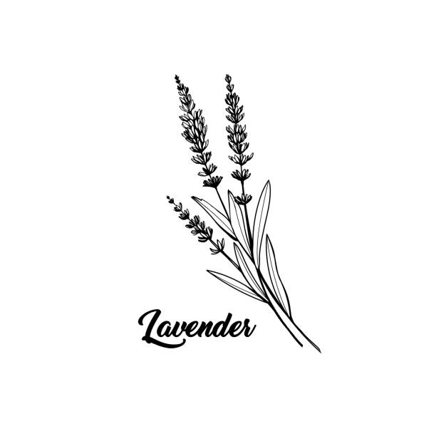 bildbanksillustrationer, clip art samt tecknat material och ikoner med lavendel svart bläck handritad skiss - lavender engraving