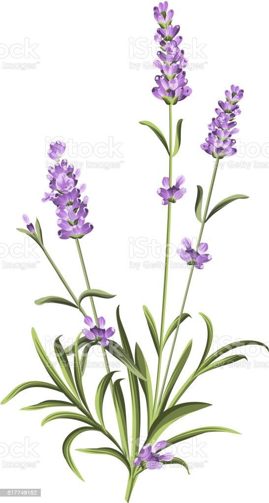 Lavender elegant card vector art illustration