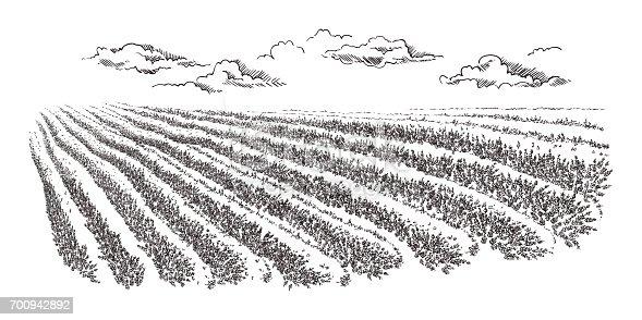 Lavender Field Summer Sunset Landscape Stock Vector Art