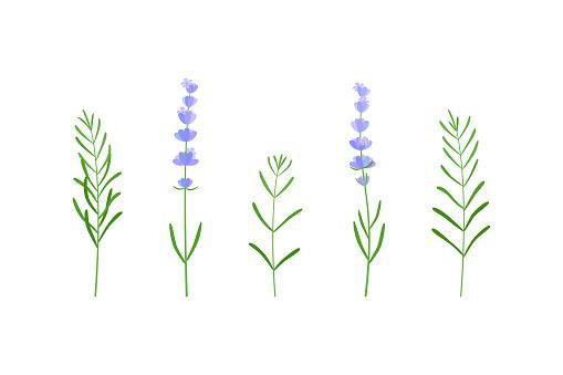 lavender flor and leaves set