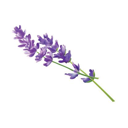 Lavender Flower Elements. Vector Illustration. Isolated On White Background