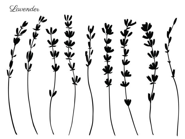 Lavender flowers hand drawn doodle vector black silhouette isolated on white, herbal vintage graphic collection, design for package tea, natural organic product, medicine, cosmetics, greeting card Lavender flowers hand drawn doodle vector black silhouette isolated on white, herbal vintage graphic collection, design for package tea, natural organic product, medicine, cosmetics, greeting cards lavender color stock illustrations