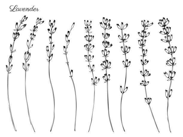 bildbanksillustrationer, clip art samt tecknat material och ikoner med lavendel blommor, hand dras doodle vektor skiss isolerad på vit, växtbaserade vintage grafisk gravyr samling, perfekt för paketet te, naturlig och ekologisk produkt, medicin, svart vit färg - lavender engraving