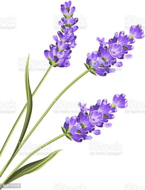 Lavender flowers in closeup vector id945742526?b=1&k=6&m=945742526&s=612x612&h=uvrmltaqzc74ax7qlcczigdu499qdwrjlh6rr560hgc=