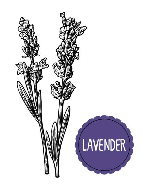 bildbanksillustrationer, clip art samt tecknat material och ikoner med lavendel blommor skiss. handritad gravyr vintage illustration. svart och vit färg. vit bakgrund. - lavender engraving