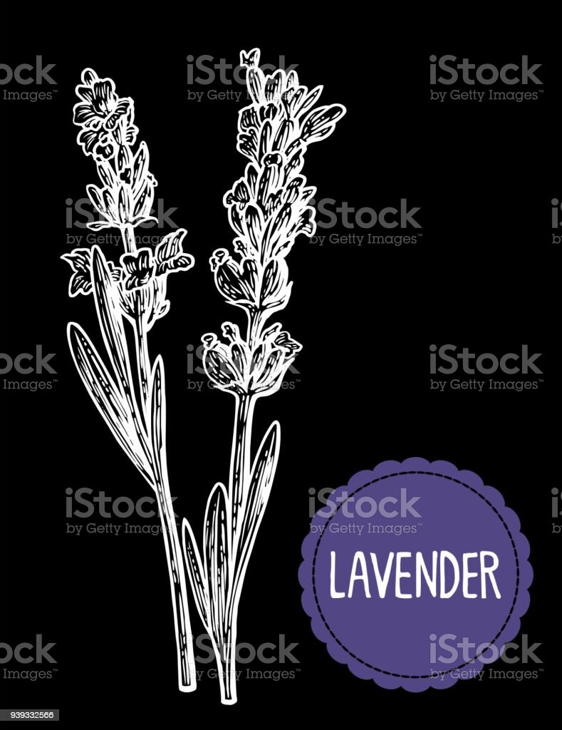 Vetores De Desenho De Flores De Lavanda Mão Desenhada