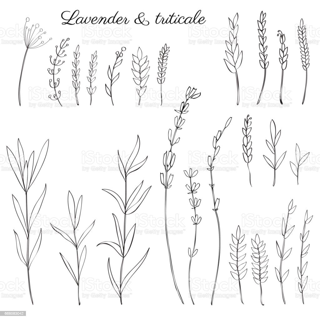 Lavender Flowers Triticale Herbs Hand Drawn Doodle Vector