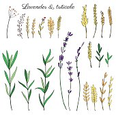 Lavender flowers, triticale herbs hand drawn doodle vector sketch isolated on white, herbal colorful graphic engraving collection for package tea, medicine, wedding invitation, greeting card, cosmetic