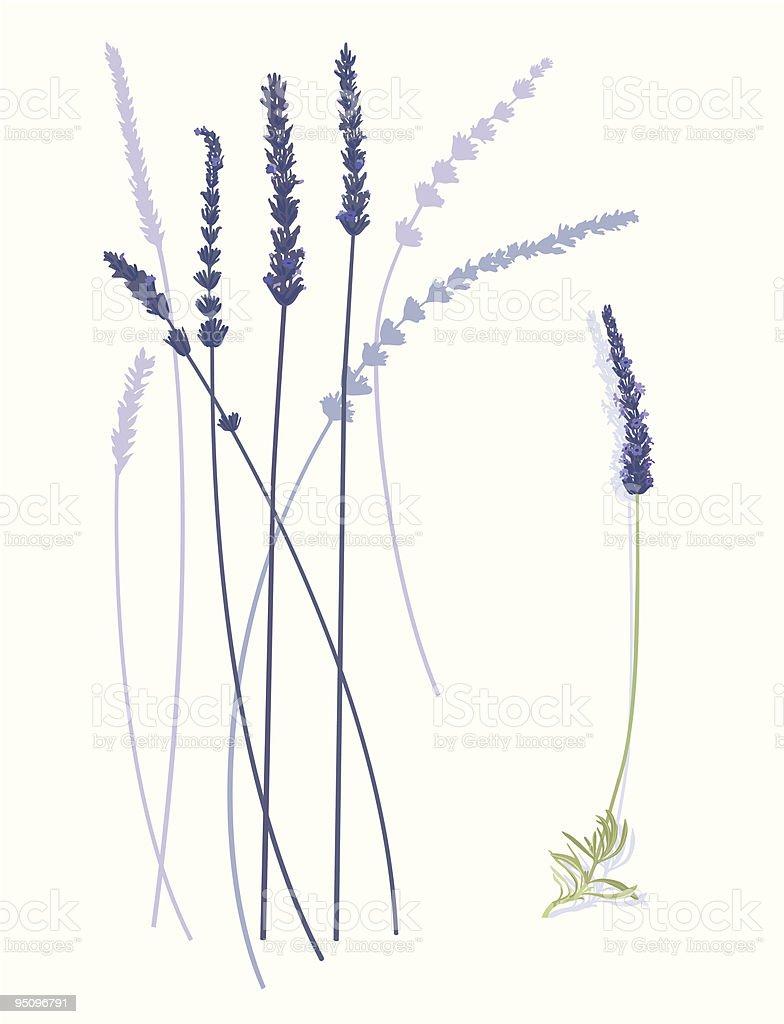 Lavender Flowers vector art illustration