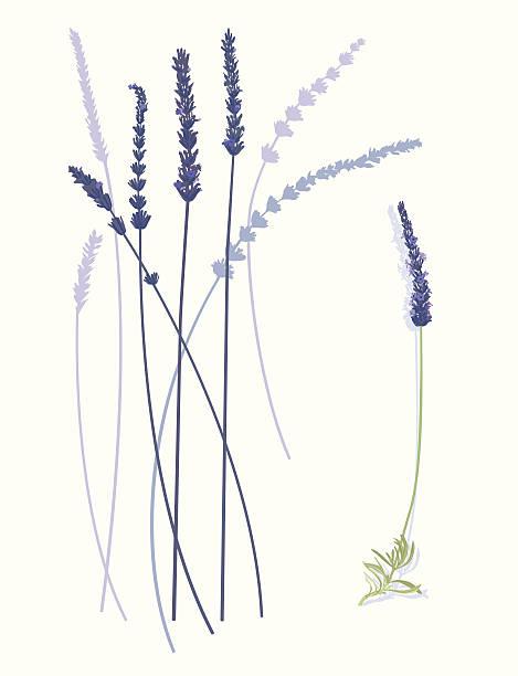 Lavender Flowers  lavender color stock illustrations