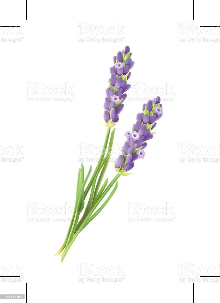 royalty free lavender clip art vector images illustrations istock rh istockphoto com lavender clipart black and white lavender clipart black and white