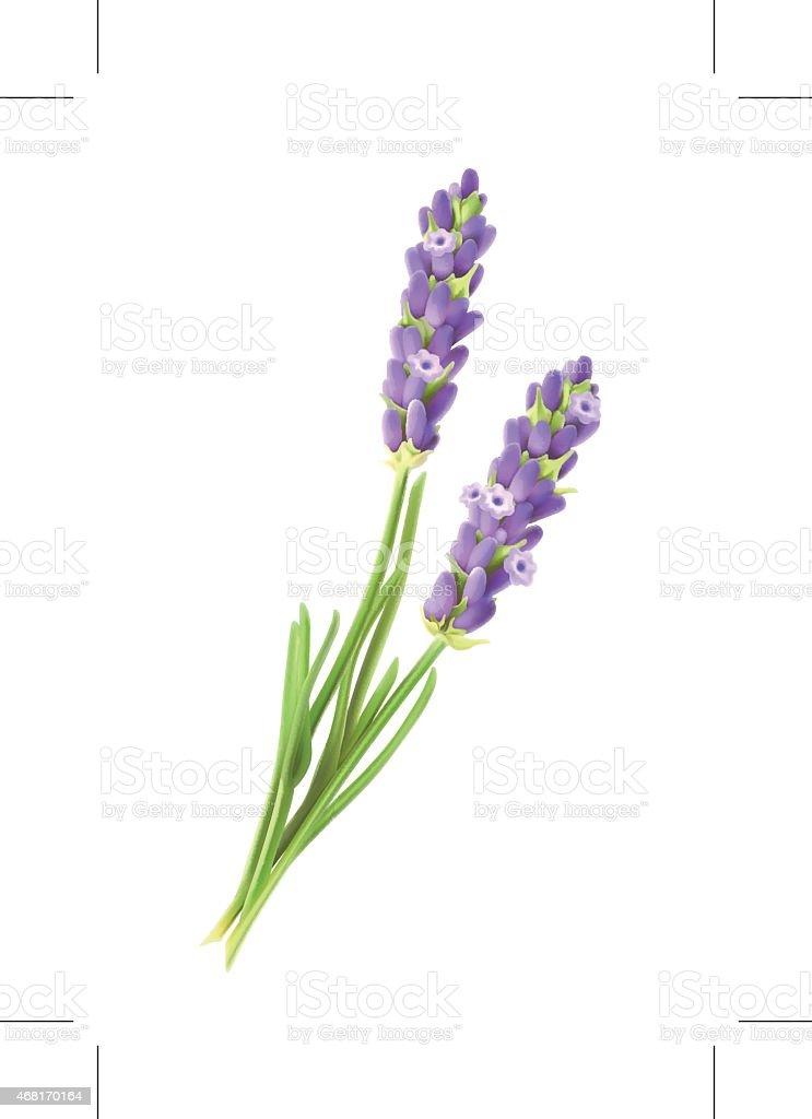 Lavender flowers, vector illustration vector art illustration