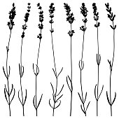 Set of lavender flowers. Vector plant silhouettes. Detailed images isolated black on white background. Vector design elements.