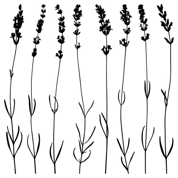 Lavender flowers, vector silhouettes Set of lavender flowers. Vector plant silhouettes. Detailed images isolated black on white background. Vector design elements. lavender plant stock illustrations