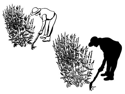 Lavender Gardening Silhouette