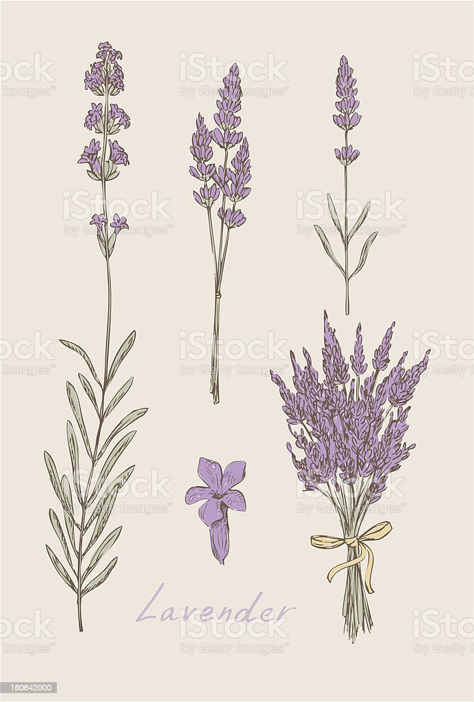 lavender hand drawn set vector vector art illustration