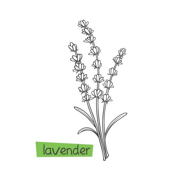 bildbanksillustrationer, clip art samt tecknat material och ikoner med lavendel hand dras - lavender engraving
