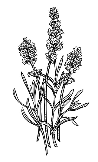 Lavender Illustration Drawing Engraving Ink Line Art
