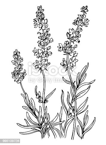 Lavender, outline black and white vector illustration.
