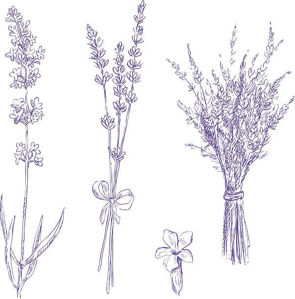 lavender pencil drawing vector set lavender pencil drawing vector set lavender color stock illustrations