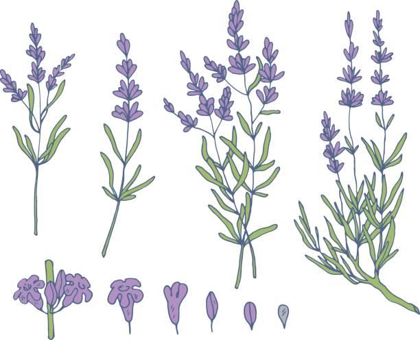 lavender sketch vector set lavender sketch vector set, botanical nature background lavender color stock illustrations