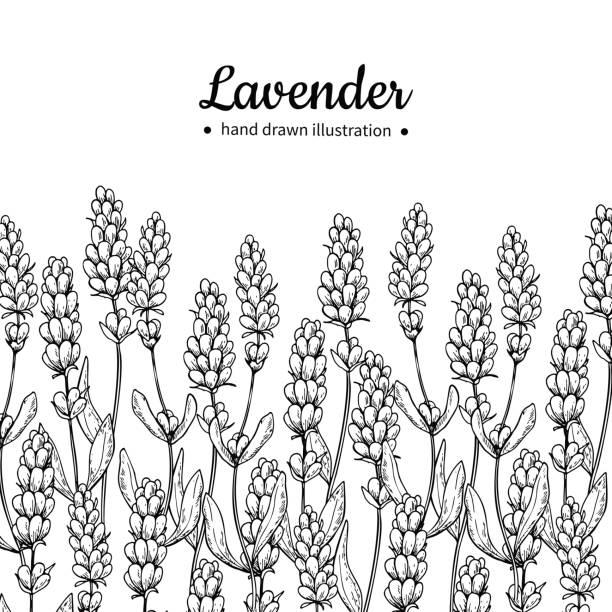 bildbanksillustrationer, clip art samt tecknat material och ikoner med lavendel vektor ritning gränsen. isolerade vilda blommor och blad. växtbaserade ingraverat - lavender engraving